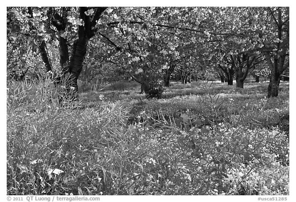 Fruit trees in bloom, Sunnyvale. California, USA (black and white)