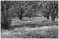 Fruit orchard in spring, Sunnyvale. California, USA (black and white)