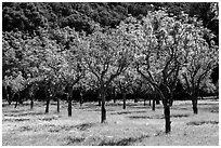 Orchard in spring, John Muir National Historic Site. Martinez, California, USA ( black and white)