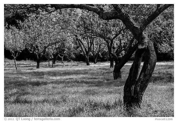John Muir family farm orchard, John Muir National Historic Site. Martinez, California, USA (black and white)
