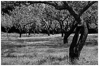 John Muir family farm orchard, John Muir National Historic Site. Martinez, California, USA ( black and white)