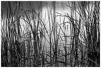 Reeds and pond, Garin Regional Park. California, USA ( black and white)