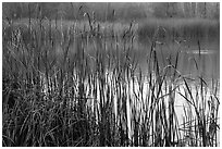 Reeds, Jordan Pond, Garin Regional Park. California, USA ( black and white)