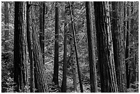 Redwood forest on hillside. Muir Woods National Monument, California, USA (black and white)