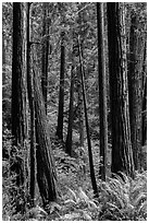 Redwood trees on hillside. Muir Woods National Monument, California, USA (black and white)