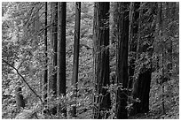 Grove of redwood trees. Muir Woods National Monument, California, USA (black and white)