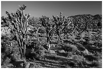 Joshua trees in bloom. Mojave National Preserve, California, USA ( black and white)