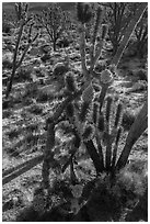 Backlit joshua tree forest with blooms. Mojave National Preserve, California, USA ( black and white)