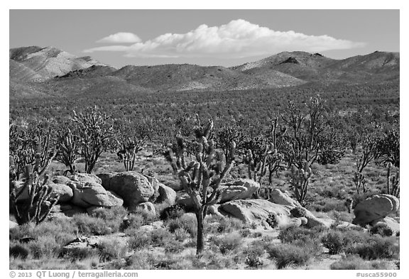 Joshua tree forest, Cima Dome. Mojave National Preserve, California, USA (black and white)