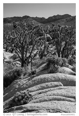 Cactus in bloom, Joshua Trees, and desert mountains. Mojave National Preserve, California, USA (black and white)