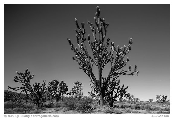 Tall, multi-branced Joshua trees in bloom. Mojave National Preserve, California, USA (black and white)