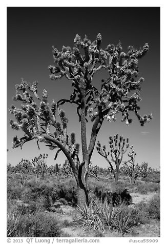 Joshua trees (Yucca brevifolia). Mojave National Preserve, California, USA (black and white)