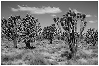 Dense forest of Joshua trees blooming. Mojave National Preserve, California, USA ( black and white)
