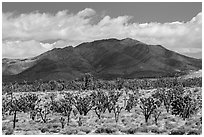Joshua tree forest and Ivanpah Mountains. Mojave National Preserve, California, USA ( black and white)
