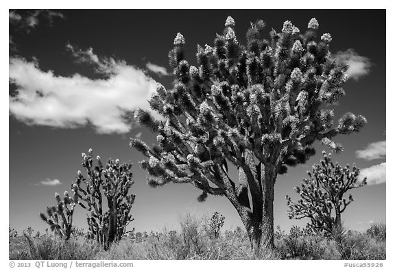 Joshua tree with many branches in bloom. Mojave National Preserve, California, USA (black and white)