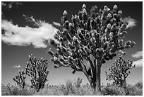 Joshua tree with many branches in bloom. Mojave National Preserve, California, USA ( black and white)