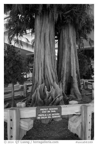Sequoias, Fresno Yosemite Airport. California, USA (black and white)