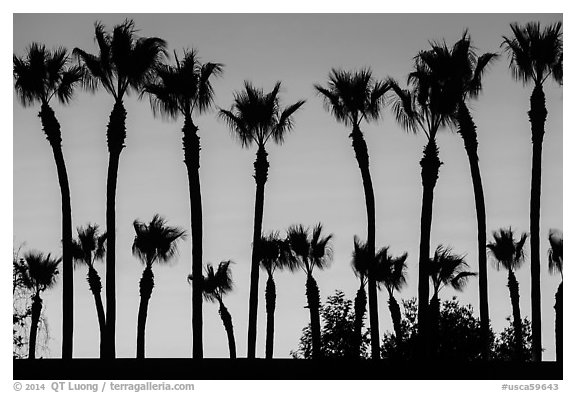 Palm trees at sunset. Los Angeles, California, USA (black and white)