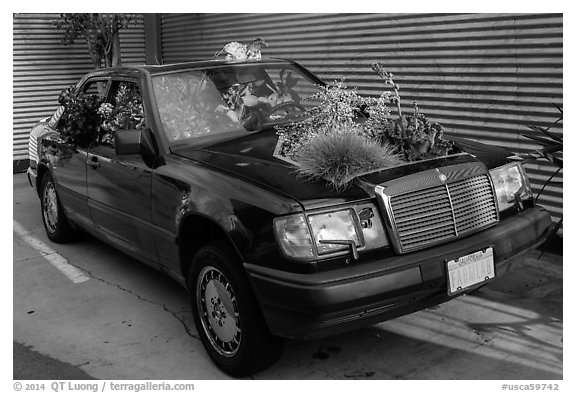 Plants growing out of Mercedes car, Bergamot Station. Santa Monica, Los Angeles, California, USA (black and white)
