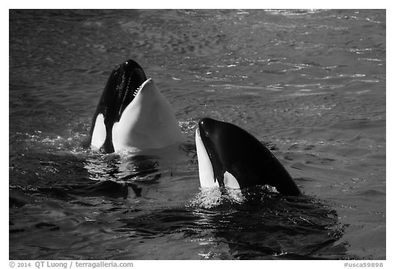 Killer Whale. SeaWorld San Diego, California, USA (black and white)