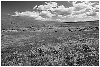 Carpet of California poppies and goldfieds. Antelope Valley, California, USA ( black and white)