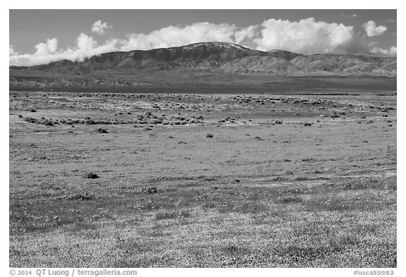 Dense patches of goldfieds and California poppies. Antelope Valley, California, USA (black and white)