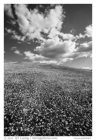 Hill with goldfield flowers and a few poppies. Antelope Valley, California, USA (black and white)