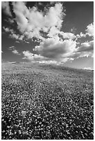 Hill with goldfield flowers and a few poppies. Antelope Valley, California, USA ( black and white)