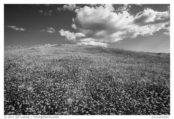 Hill solidly covered with goldfield flowers and a few poppies. Antelope Valley, California, USA (black and white)