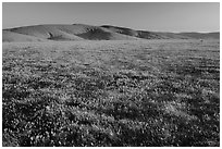 Field of closed poppies near sunset. Antelope Valley, California, USA ( black and white)