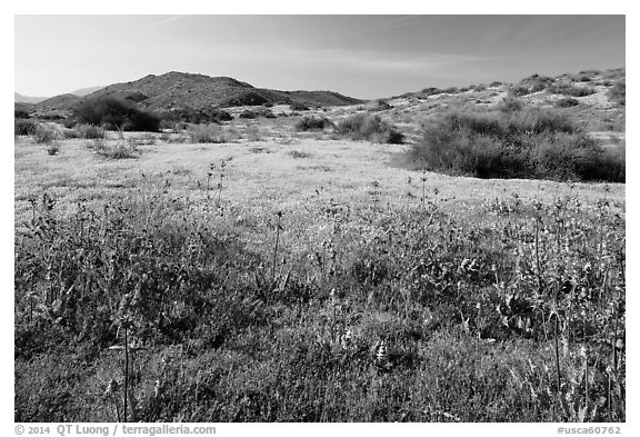 Spring wildflowers on hills. Carrizo Plain National Monument, California, USA (black and white)