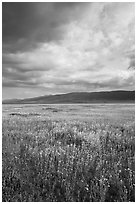 Wildflowers in meadow and Temblor Range. Carrizo Plain National Monument, California, USA ( black and white)