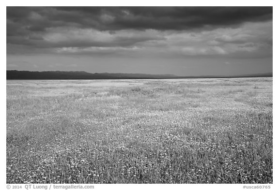 Grassland in bloom under dark sky. Carrizo Plain National Monument, California, USA (black and white)