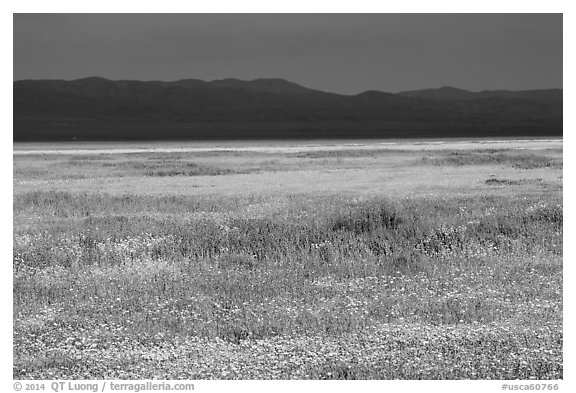 Wildflowers, Temblor Range and dark sky. Carrizo Plain National Monument, California, USA (black and white)