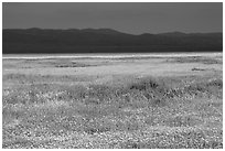 Wildflowers, Temblor Range and dark sky. Carrizo Plain National Monument, California, USA ( black and white)
