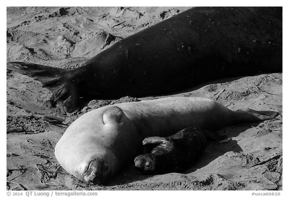 Pup, female, and part of male elephant seal, Piedras Blancas. California, USA (black and white)