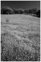 Wildflowers, grasses, and oaks, Pacheco State Park. California, USA ( black and white)