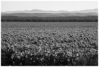 Sunflower field and hills. California, USA ( black and white)