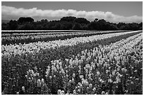 Flower fields. Lompoc, California, USA ( black and white)