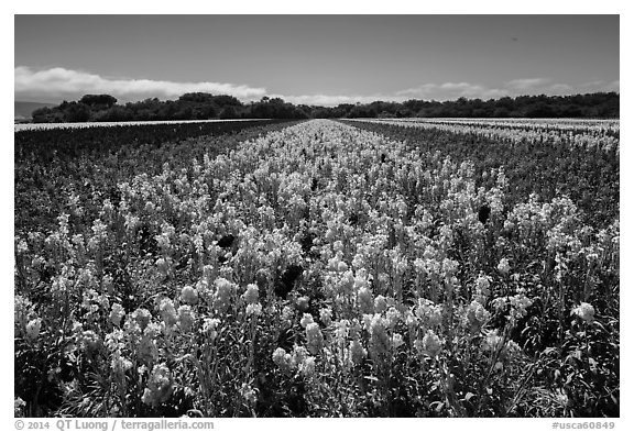 Valley of flowers. Lompoc, California, USA (black and white)