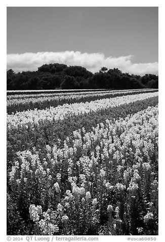 Commercial flower field. Lompoc, California, USA (black and white)