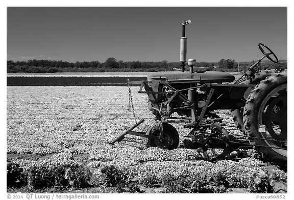 Tractor and flower field. Lompoc, California, USA (black and white)