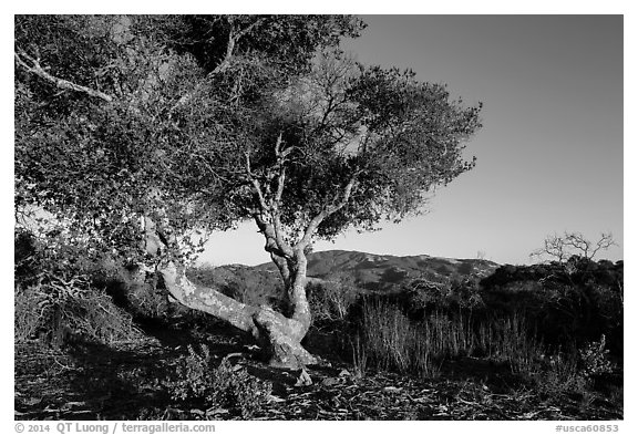 Tree and hills at sunset. California, USA (black and white)