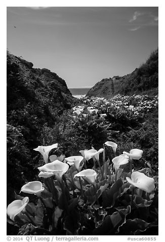 Calla Lillies, Garrapata State Park. Big Sur, California, USA (black and white)