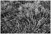 Grasses. Carrizo Plain National Monument, California, USA ( black and white)