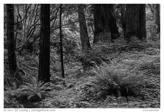 Redwood forest, Limekiln State Park. Big Sur, California, USA (black and white)