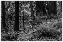 Redwood forest, Limekiln State Park. Big Sur, California, USA ( black and white)