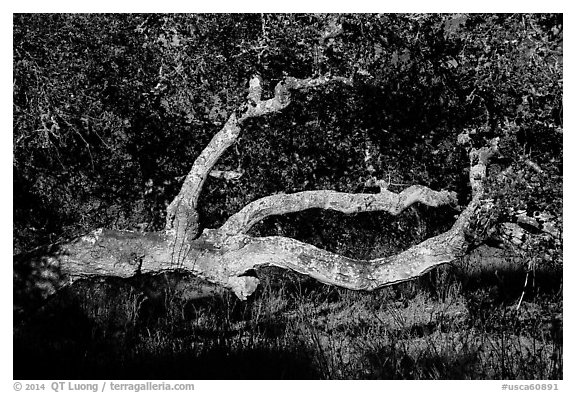 Branches and trunk. California, USA (black and white)