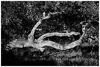 Branches and trunk. California, USA ( black and white)
