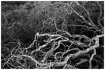 Branches. California, USA ( black and white)